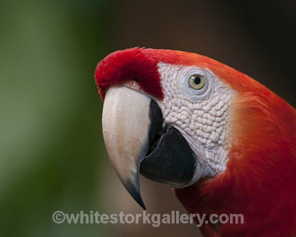 Red and White Macaw - Wildlife and Animals