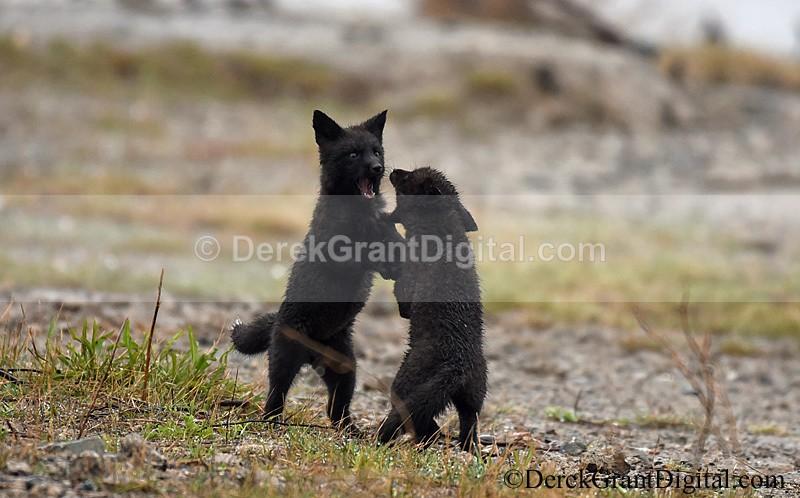 Vulpes Vulpes Rare Wild Black Fox Kits at Play - Mammals, Reptiles & Amphibians