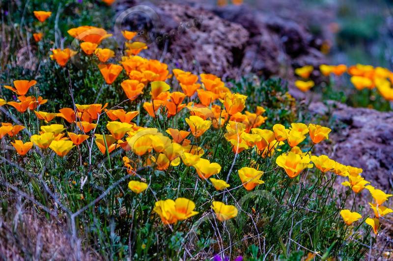 Californian poppy Eschscholzia californica-5544 - Plants and trees