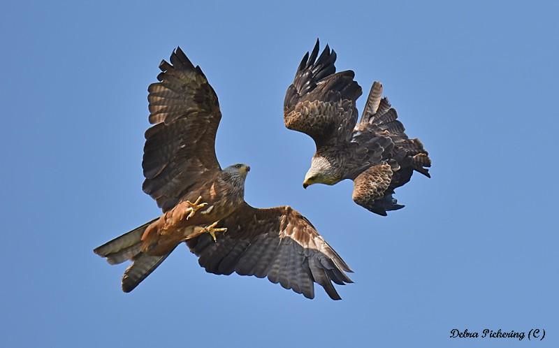 Black Kite - Birds Of Prey