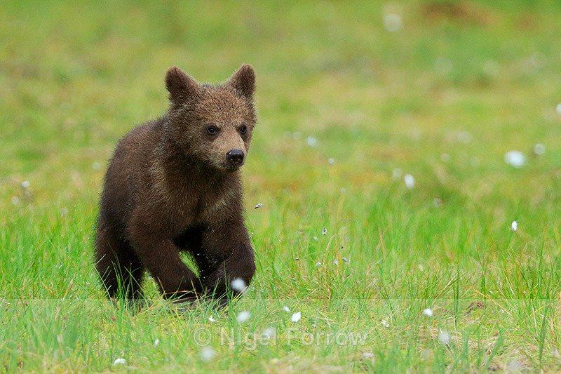 Brown Bear cub running at Martinselkonen - Brown Bear