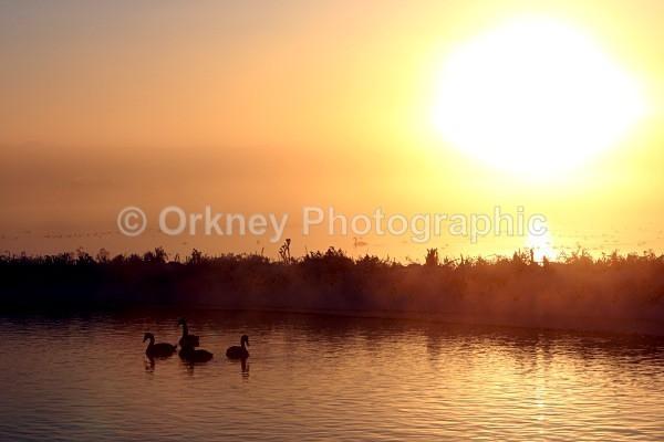 Swans purple - Orkney Images