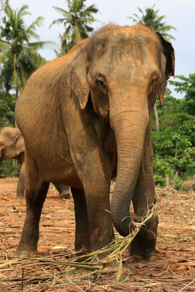 Adult Elephant - Elephant