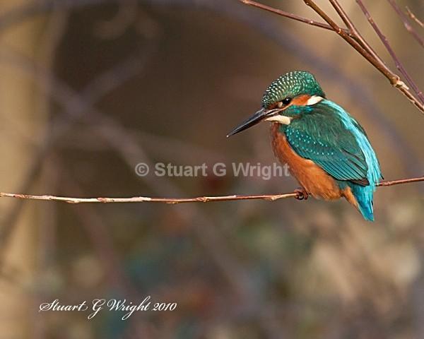 31 - Kingfisher