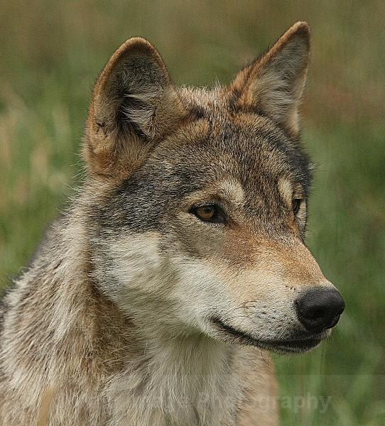 529 WOLF PORTRAIT - OTHER WILDLIFE (UK)