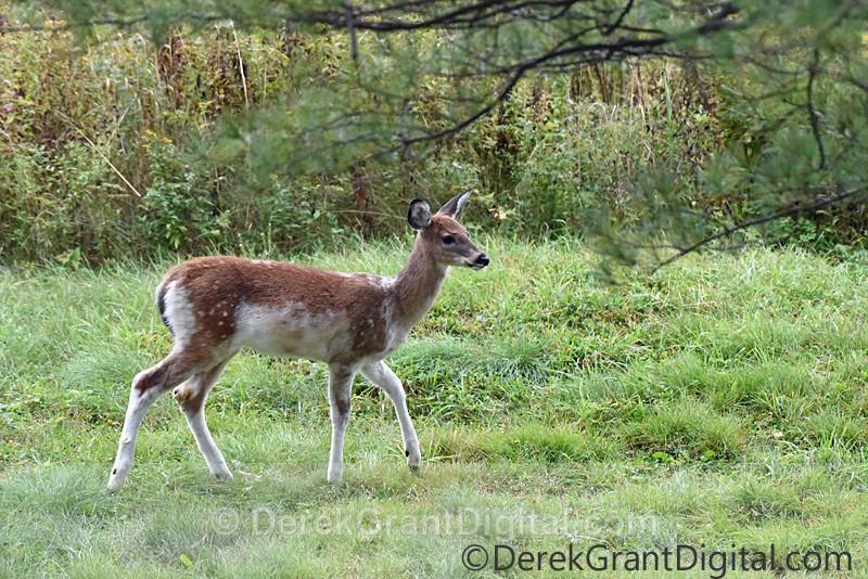 Piebald not Albino White-tailed Fawn Deer - Mammals, Reptiles & Amphibians