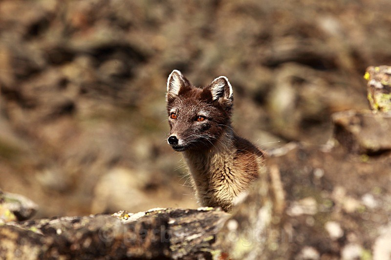 Arctic Fox 3273 - Wildlife