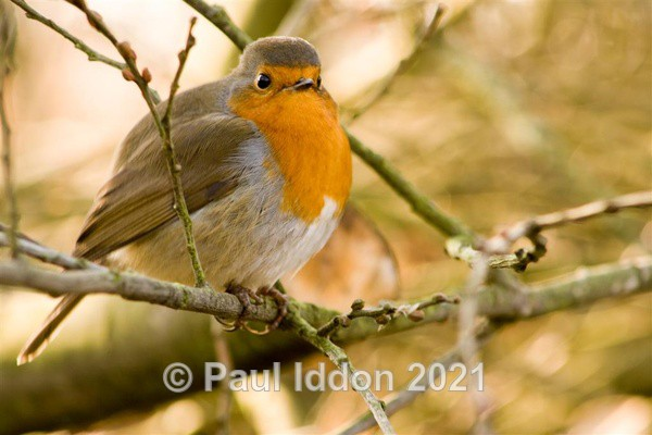 The Robin - Nature - Birds and Wildlife