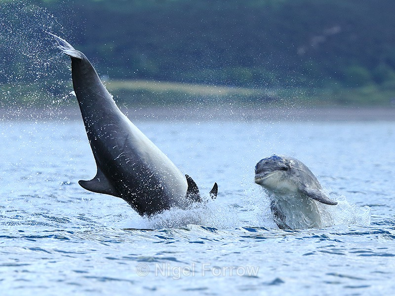 Bottlenose Dolphin calf jumping next to a somersaulting adult - Dolphin