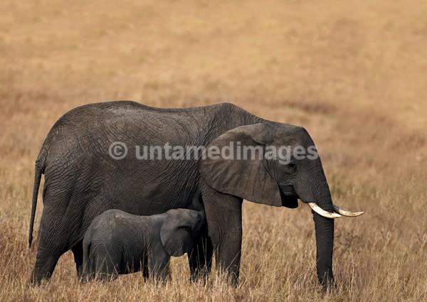 African Bush Elephant - Kenya