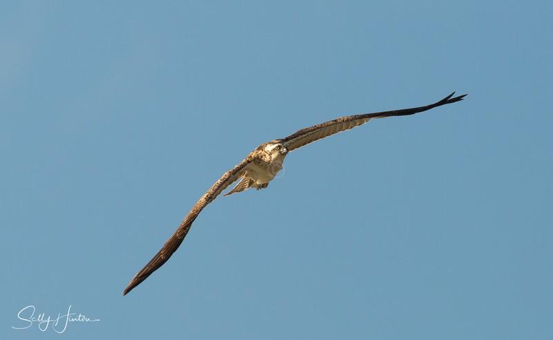Osprey in Flight 5 - Osprey (For Sale)