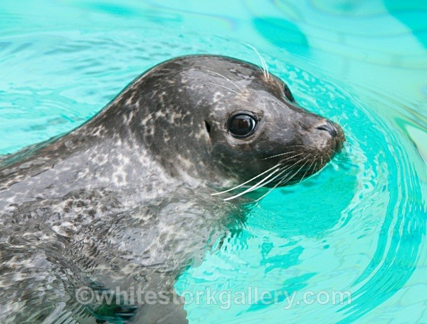 Seal - Wildlife and Animals