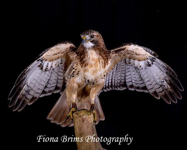 birds studio-15 - Birds of Prey