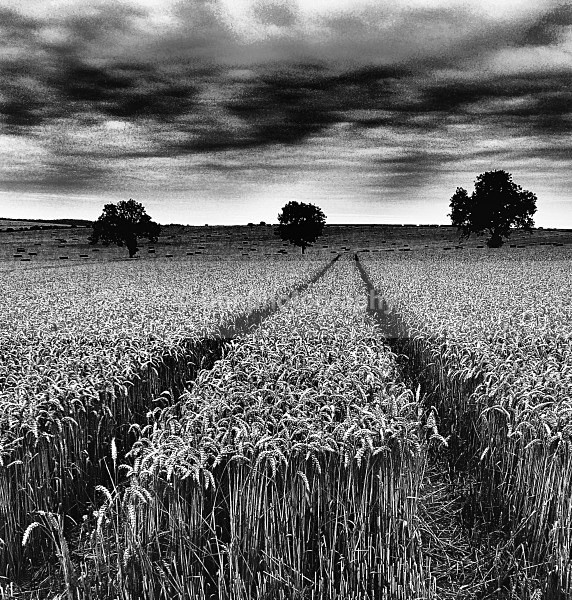 Wheat in Charcoal. - Monochrome Photograph's