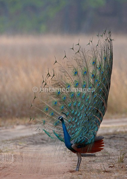 Male Peafoul - India