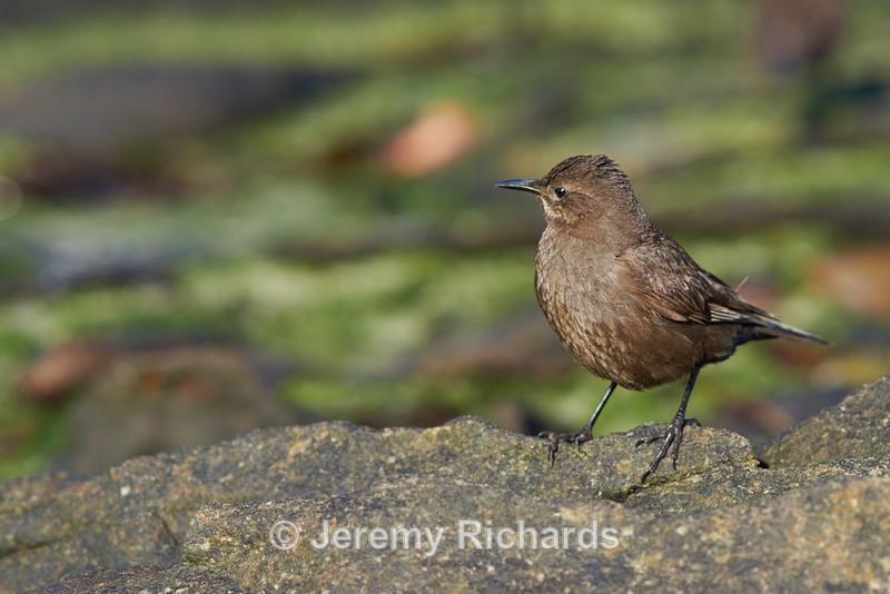 Tussacbird - Carcass Island