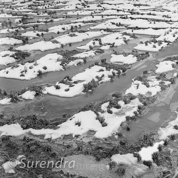 Winter Rice 2 - Rice Fields in Winter
