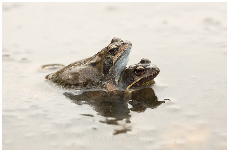 Stuck Like Glue - Amphibians