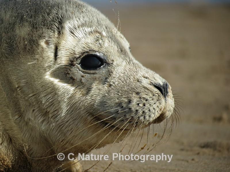 Seal Close-up - Animals