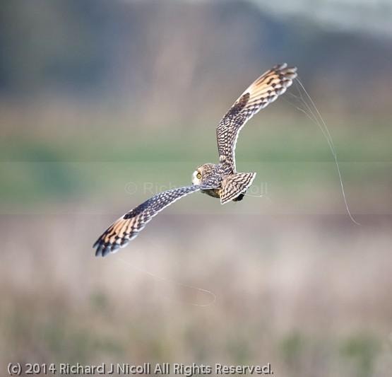 Short-eared Owl (Asio flammeus) with cobwebs - Short-eared Owl (Asio flammeus)