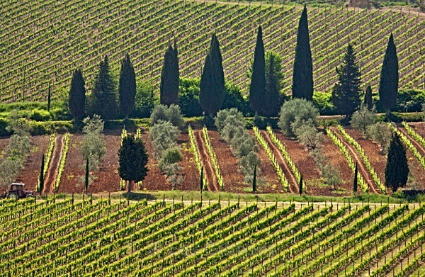 cypress and vines - Tuscany
