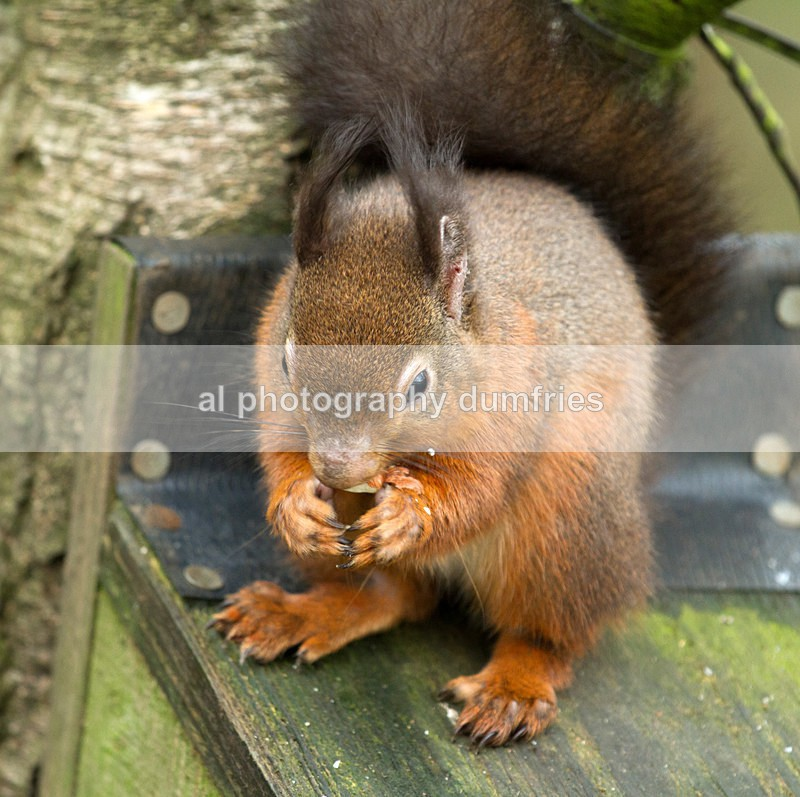 Red Squirrel 10 (disambiguation). - Eskrigg Nature Reserve Lockerbie