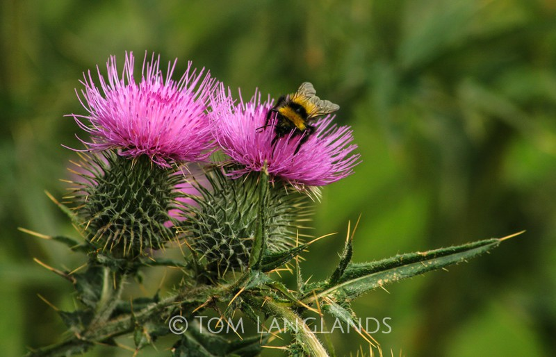 Thistles and Bee - Trees, Flowers and Plants