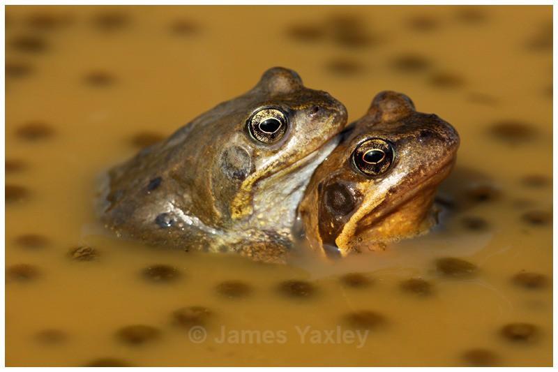 Polkadot Amplexus - Amphibians