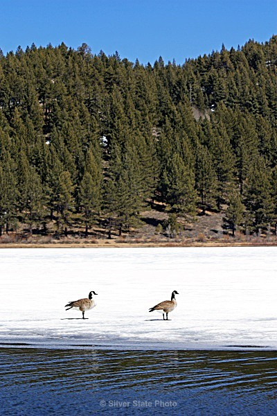 'Love Birds' Canadian Geese - Nevada Birds
