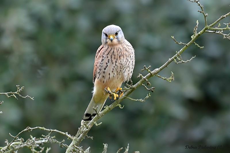 Kestrel - Birds Of Prey