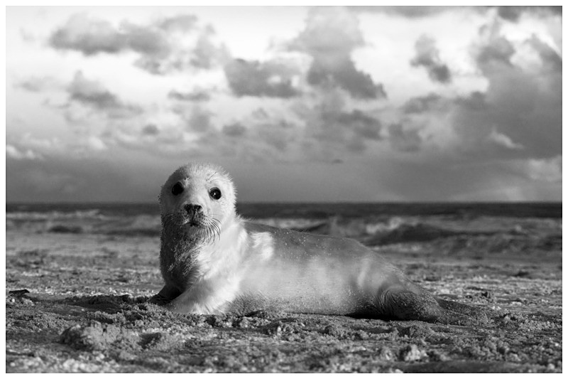 Grey Seal Pup Monochrome - The British Wildlife Photography Awards 2009 to 2014