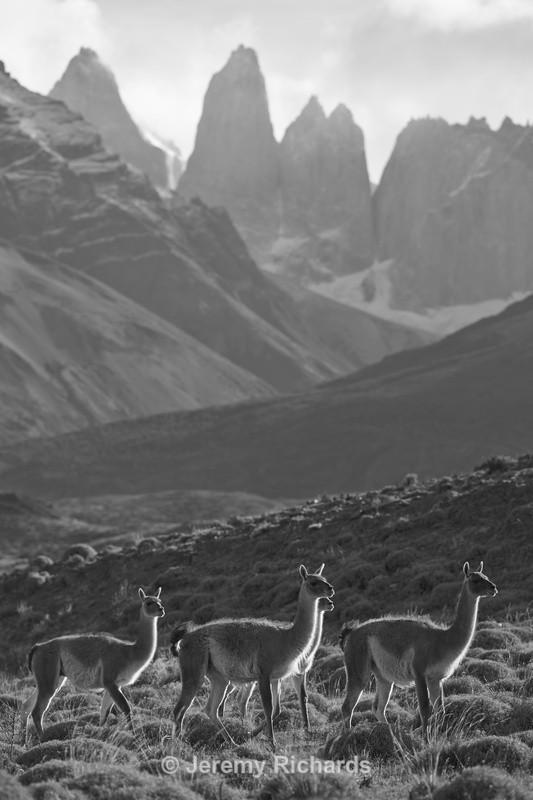 Guanaco - Torres del Paine National Park