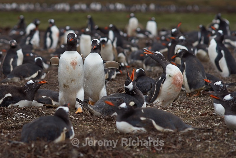 Gentoo Penguins - Saunders Island