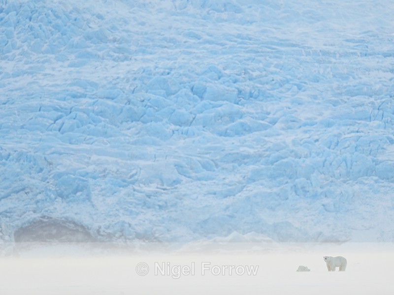 Polar Bears & glacier face, Svalbard, Norway - Polar Bear