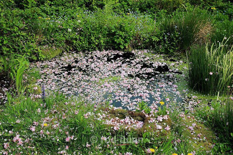 Cherry blossom pool - Peak District