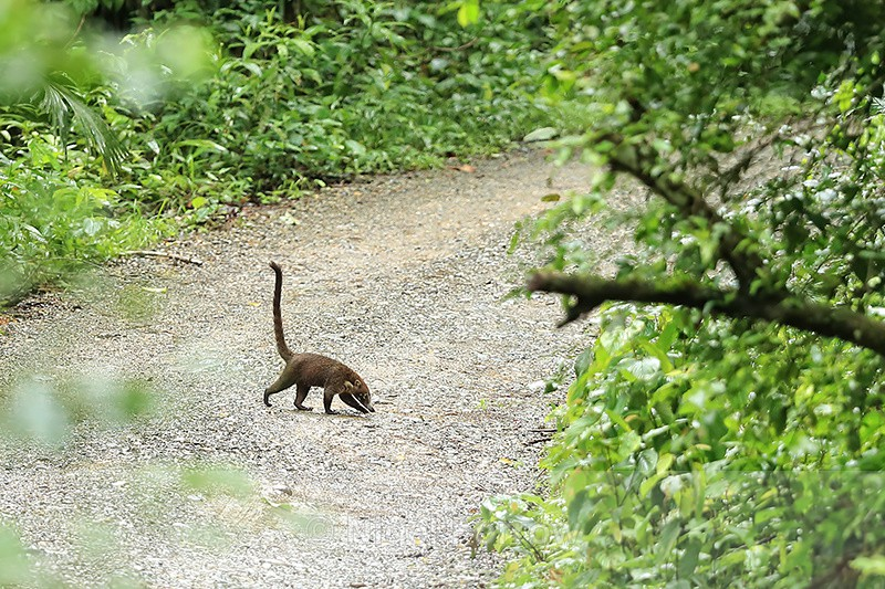 Coati crossing Pipeline Road, Panama - Coati