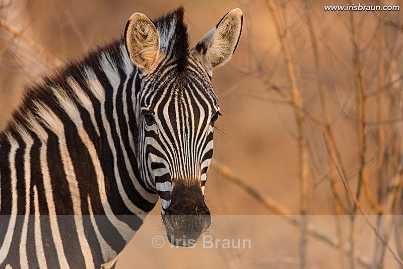 - Zebra