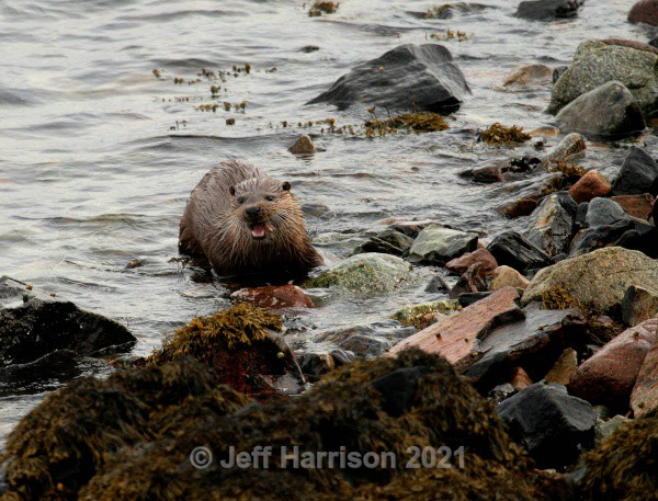 Otter (Image Ot 02) - Mammals