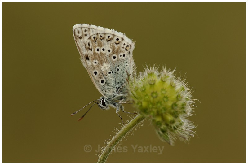 Chalk-hill Blue on Scabious Seed Head - Butterflies, Dragonflies and Demoiselles