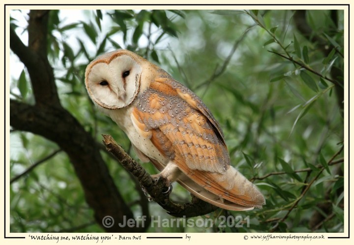 BO 004 - Barn Owls