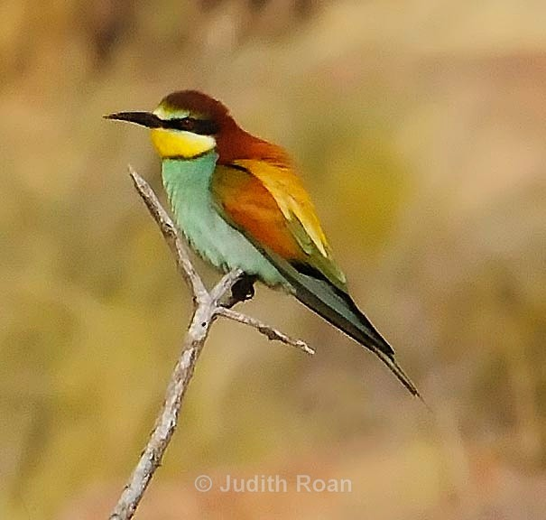 European Bee-eater - South Africa Birds and Mammals