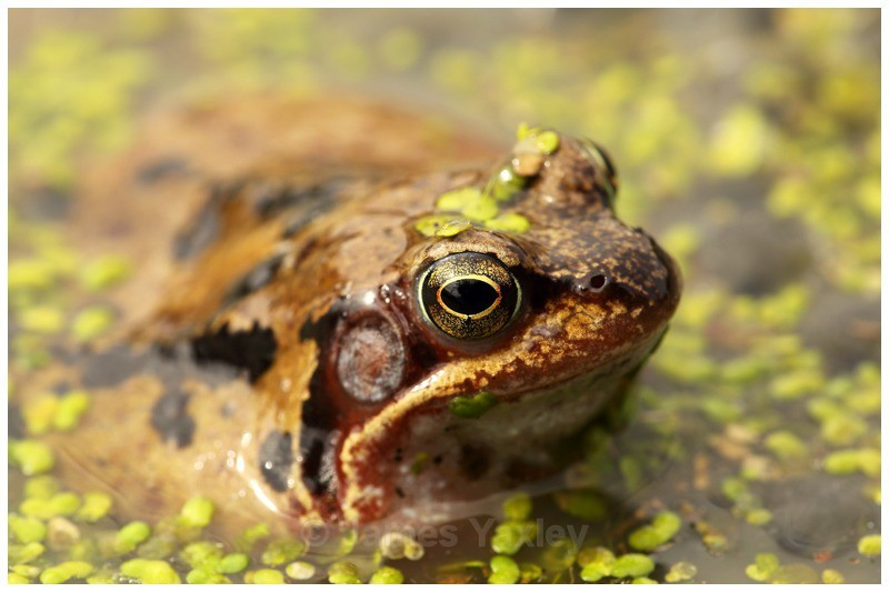 Frog and Duck Weed - Amphibians