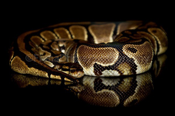 Blane 2 - Reptile Photography