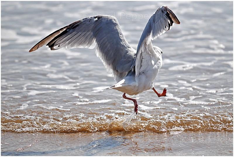 12th September 2007 - Leggy the Herring Gull