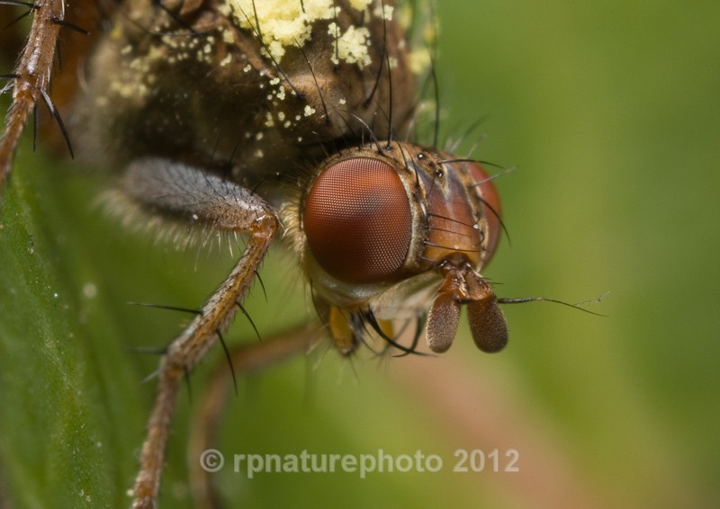 Dung fly RPNP0006 - Insects & Spiders