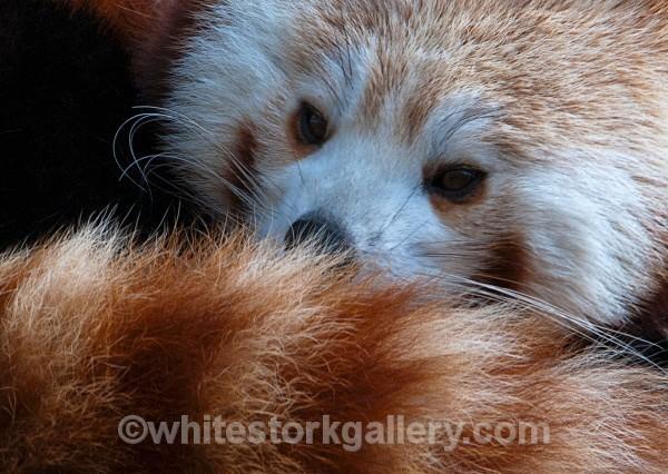 Red Panda - Wildlife and Animals