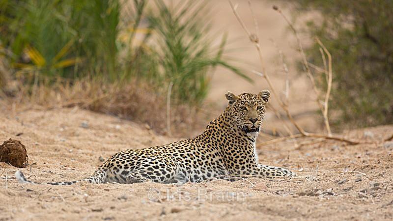 Relax - Leopard