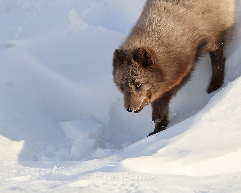 Arctic Fox coming down slope, Svalbard, Norway - Arctic Fox