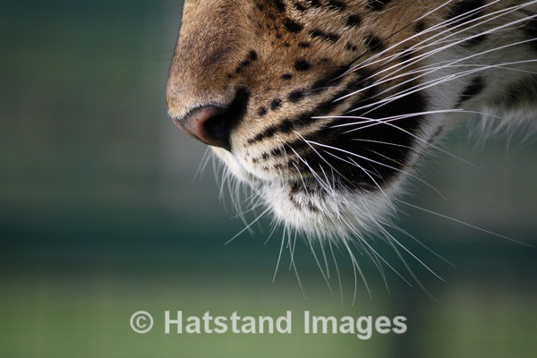 Leopard - nature