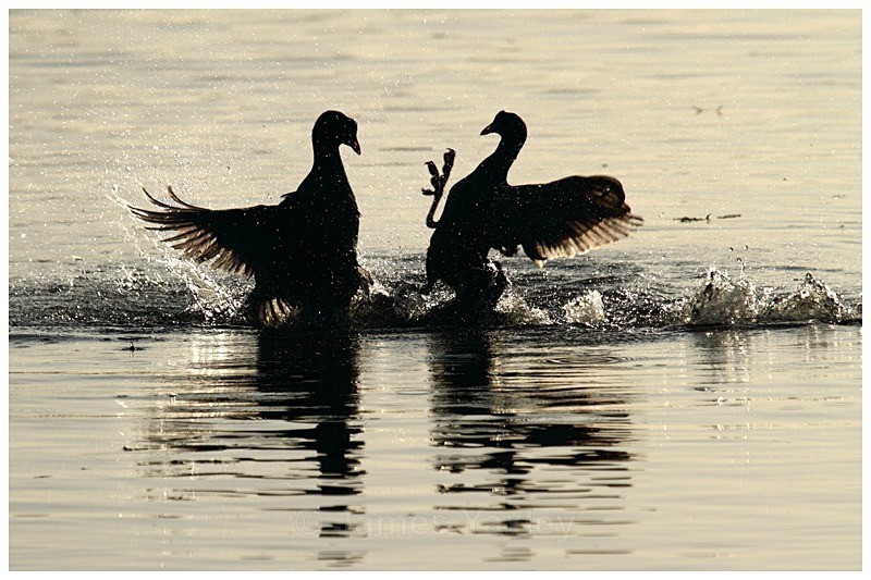 Sparring Coots - The British Wildlife Photography Awards 2009 to 2014